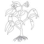 Tipareste si coloreaza: ardei iute - planta