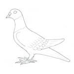 Tipareste si coloreaza: porumbel voiajor